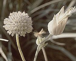 Flannel Flower seeds